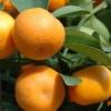 Picture of Mandarin Aoshima