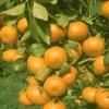Picture of Mandarin Beauty of Glen Retreat