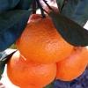 Picture of Mandarin Burgess Scarlet