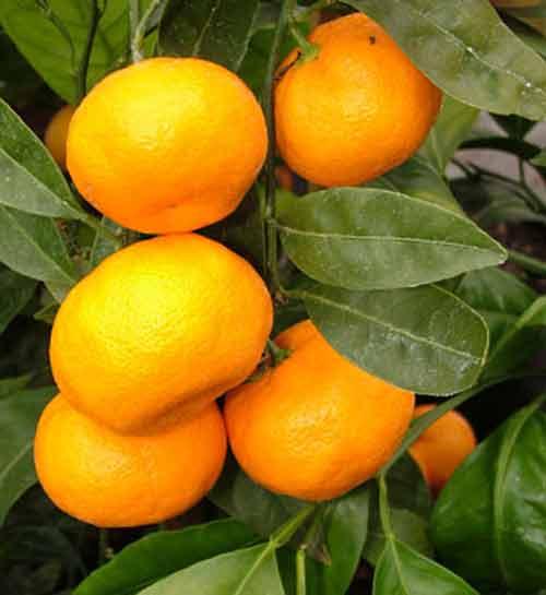 Picture of Mandarin Satsuma Silverhill