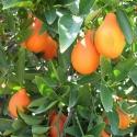 Picture of Mandarinquat
