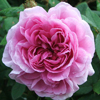 Picture of Marechal Davoust-Rose