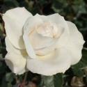 Picture of Margaret Merril 1.5m Pillar-Rose