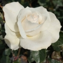 Picture of Margaret Merril Std 80cm-Rose