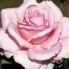 Picture of Memorial Day-Rose