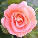 Picture of Memories of You Std 80cm-Rose