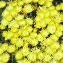 Picture of Mesembryanthemum Yellow