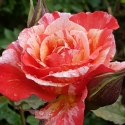 Picture of Michelangelo-Rose