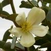 Picture of Michelia Yunnanensis Std