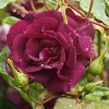 Picture of Midnight Blue-Rose