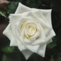 Picture of Milky Way-Rose