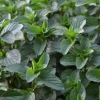 Picture of Mint Basil