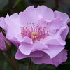 Picture of Moondance-Rose