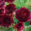 Picture of Munstead Wood Std 80cm-Rose