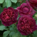 Picture of Munstead Wood-Rose