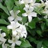 Picture of Murraya Paniculata