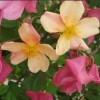 Picture of Mutabilis Std 80cm-Rose