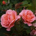 Picture of My Mum Std 80cm-Rose