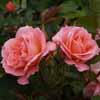 Picture of My Mum Std 90cm-Rose