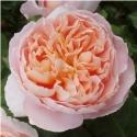Picture of NZ Gardener-Rose