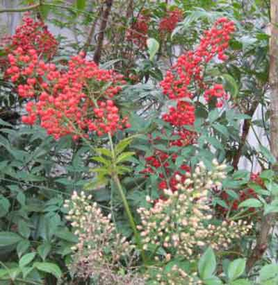 Picture of Nandina Richmond