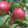 Picture of Nectarine Fillery