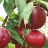 Picture of Nectarine Queen Giant GQ