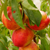 Picture of Nectarine Sunglo