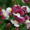 Picture of Nemesia Raspberries and Cream