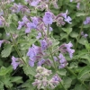 Picture of Nepeta Catmint