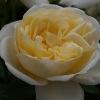 Picture of Nina Std 80cm-Rose