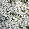 Picture of Olearia cheesemanii