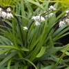 Picture of Ophiopogon Planiscarpus