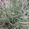 Picture of Ophiopogon Silver Mist