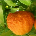 Picture of Orange Bergamot