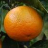 Picture of Orange Best Seedless Dwarf