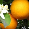 Picture of Orange Carters Navel