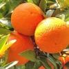 Picture of Orange Vainiglia Pink