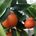 Picture of Orangequat