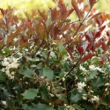 Picture of Osmanthus purpurea