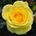 Picture of Otago University Std 80cm-Rose