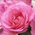 Picture of Pacific Glory-Rose