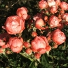 Picture of Paree Salmon-Rose