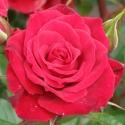 Picture of Patio Jewel Std 45cm-Rose