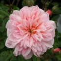 Picture of Paul Transon Std 1.8m Weeper-Rose