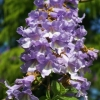 Picture of Paulownia Tomentosa