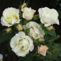 Picture of Pavlova-Rose