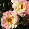 Picture of Peace Std 80cm-Rose