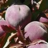 Picture of Peach Hiawatha GQ