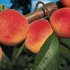 Picture of Peach Red Haven